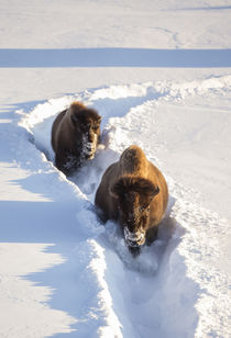 Wyoming, Yellowstone National Park, Bison Cow and calf walki... by Danita Delimont