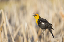 Yellow-headed Blackbird calling von Danita Delimont