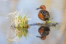 Male Cinnamon Teal with reflection by Danita Delimont