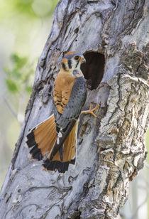 Male American Kestrel at nest by Danita Delimont