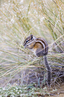 Least Chipmunk eating seedheads von Danita Delimont