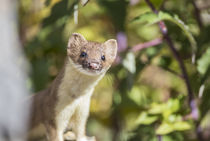 Long-tailed Weasel by Danita Delimont
