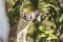 Long-tailed Weasel von Danita Delimont