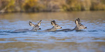 Mule Deer Does and fawn swimming von Danita Delimont