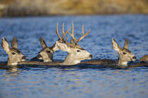 Mule Deer Swimming Lake by Danita Delimont