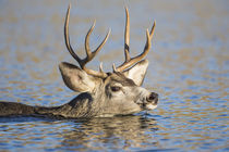 Mule Deer buck swimming by Danita Delimont