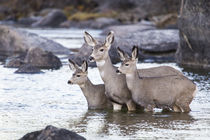Mule Deer standing in river by Danita Delimont