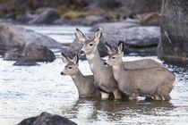 Mule Deer standing in river von Danita Delimont