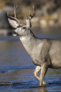 Mule deer buck in river by Danita Delimont