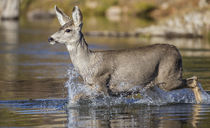 Mule Deer Doe crossing river by Danita Delimont