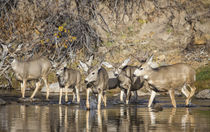 Mule Deer crossing river by Danita Delimont