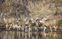 Mule Deer crossing river von Danita Delimont