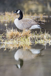 Canada Goose with reflection von Danita Delimont