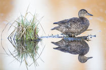 Cinnamon Teal Female by Danita Delimont