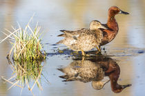 Cinnamon Teal pair by Danita Delimont