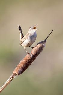 Marsh Wren singing by Danita Delimont