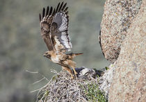 Red-tailed Hawk leaving nest by Danita Delimont