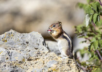 Golden-mantled Ground Squirrel eating raspberry by Danita Delimont