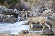 Mule Deer doe by Danita Delimont