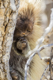 Usa, Wyoming, Sublette County, a Porcupine peers from the tr... by Danita Delimont