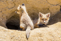 Two Fox Kits at Den by Danita Delimont