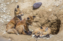 Three Red Fox kits at densite by Danita Delimont