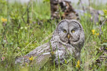 Great Gray Owl on Ground by Danita Delimont