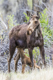 Nursing Moose Calf by Danita Delimont