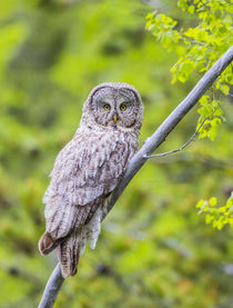 Great Gray Owl by Danita Delimont