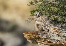 Great Horned Owl Fledgling by Danita Delimont