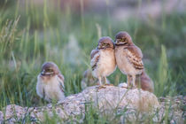 Usa, Wyoming, Sublette County, Burrowing Owl chicks stand at... by Danita Delimont