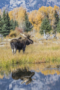 Bull Moose Reflection by Danita Delimont