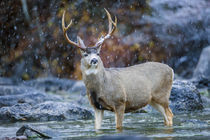 Mule Deer Buck in snowstorm by Danita Delimont