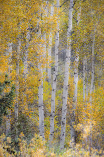 Fall snowstorm, aspen trees, Grand Teton national Park by Danita Delimont