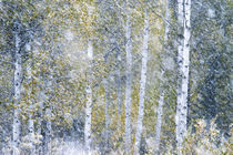 Fall snowstorm, aspen trees, Grand Teton national Park, Wyoming von Danita Delimont
