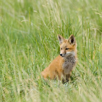 Red Fox Kit in grass near den, Saratoga, Wyoming by Danita Delimont