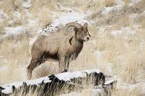 Big Horn Ram, ovis canadensis North Fork Shoshone River, nea... von Danita Delimont