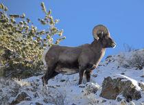 Big Horn Ram, ovis canadensis, North Fork Shoshone River, ne... by Danita Delimont