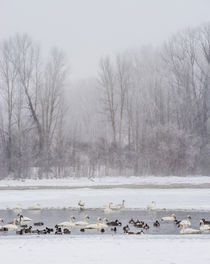 Geese, Swans and Ducks at pond near Jackson, Wyoming von Danita Delimont