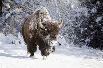 Wapiti, Wyoming by Danita Delimont