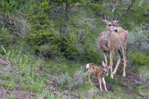 Mule Deer Doe with Fawn von Danita Delimont