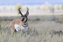 Pronghorn Antelope Buck von Danita Delimont