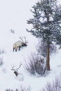 Rocky Mountain Bull Elk During Snowstorm by Danita Delimont