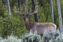 Rocky Mountain Bull Elk, velvet antlers by Danita Delimont