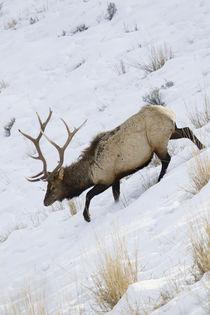 Rocky Mountain Bull Elk, Winter by Danita Delimont