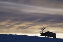 Rocky Mountain Bull Elk, Winter Sunset by Danita Delimont