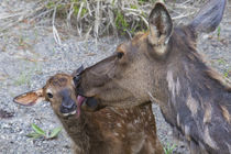 Rocky Mountain Cow Elk with Newborn Calf by Danita Delimont