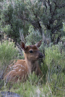 Rocky Mountain Elk Calf by Danita Delimont