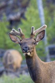 Young Bull Elk by Danita Delimont