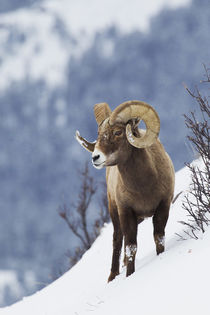 Rocky Mountain Bighorn Sheep von Danita Delimont